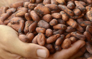 ウインドファームエクアドルのカカオ豆