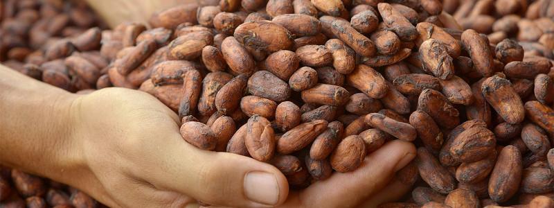 エクアドルのカカオ豆